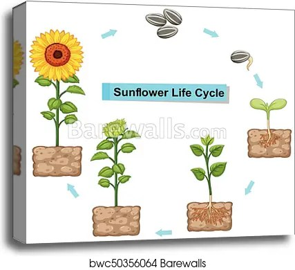 sunflower plant life cycle diagram suzuki grand vitara parts canvas print of showing barewalls