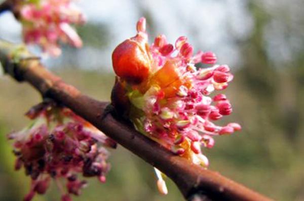Flores de Bach y California  ELM OLMO Del grupo  para el abatimiento o la desesperacin
