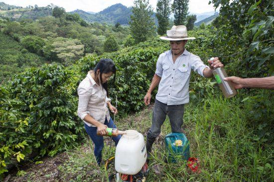 Dos personas procesan el líquido de las cerezas de café en un campo exuberante.