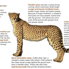 Snow Leopard Anatomy Diagram Guest Marine Battery Switch Wiring 1000+ Images About Diy School Projects On Pinterest | Cheetahs, Catapult And Conservation