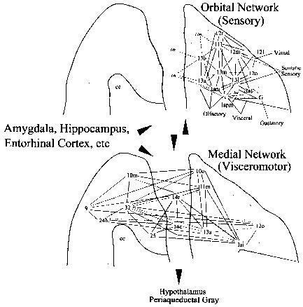 Orbital And Medial Prefrontal Cortex And Cingulate Gyrus