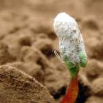 gmo cotton seedling