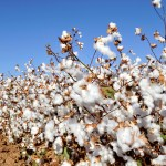facts about cotton