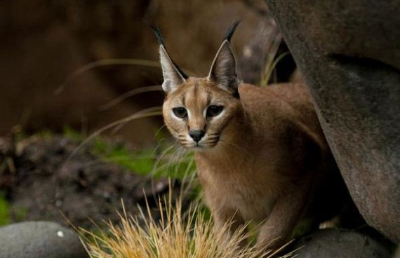 Cute Nice Baby Wallpapers The Oregon Zoo Shows Off Baby Caracal Barnorama