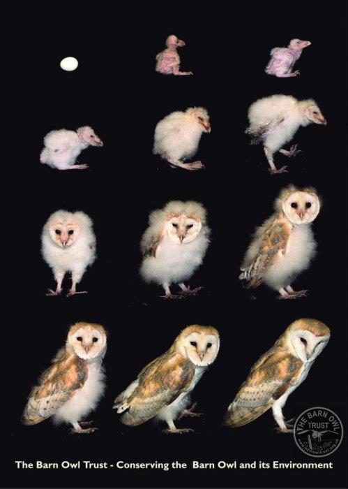 Cute Barn Tyto Owl Wallpaper Barn Owl Facts And Fun For Kids The Barn Owl Trust