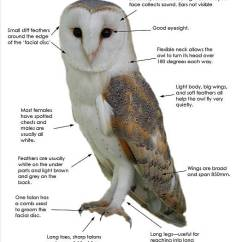 Diagram Types Of Feathers 1998 Ford Ranger Stereo Wiring Barn Owl Facts - All You Need To Know About Owls