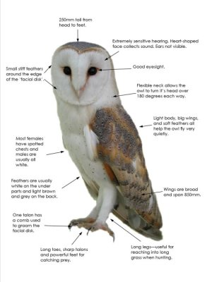Barn Owl facts  All you need to know about Barn Owls