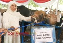 SAPI KURBAN: Khofifah Indar Parawansa menyerahkan sapi kurban di Masjid Al Akbar, Rabu (22/8).   Foto: Barometerjatim.com/MARJAN AP