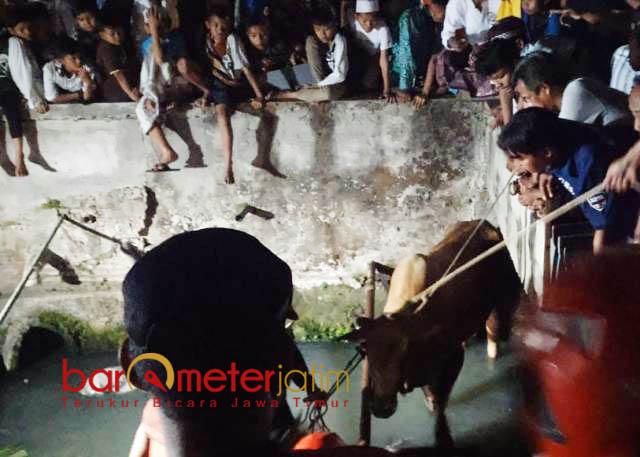 TERJUN KE SUNGAI: Sapi milik Hanafi terjun ke sungai gara-gara mercon. Hingga pukul 23.30 WIB petugas masih kesulitan mengevakuasi.   Foto: Barometerjatim.com/NANTHA LINTANG