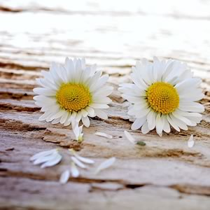 2 Daisy heads laying down on a wooden surface