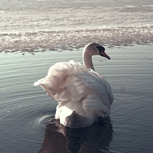 A single swan swimming in the water