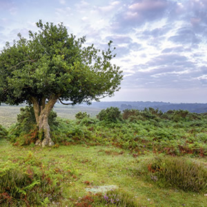 A Tree in The New Forest Hampshire