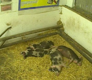 Screen cap of Pigs in an English Barn