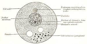 I. Embryology. 1. The Animal Cell. Gray, Henry. 1918