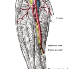 Vascular Anatomy Diagram Lower Honeywell S8610u Wiring Vi The Arteries 6 Of Extremity Gray 550 Femoral Artery See Enlarged Image