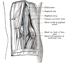 VIII. The Lymphatic System. 4. The Lymphatics of the Upper