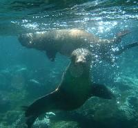 Spelende zeeleeuwen onder water