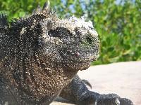 Portret van een Marina Iguana