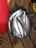 Gratis makreel van aardige vissers