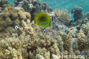 Butterflyfish | Teleost fish