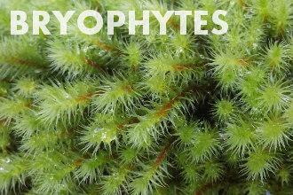 Bryophytes - Non-vascular plants