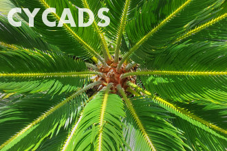 Cycads