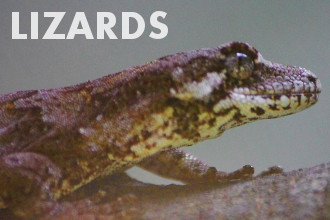Lizards - reptiles