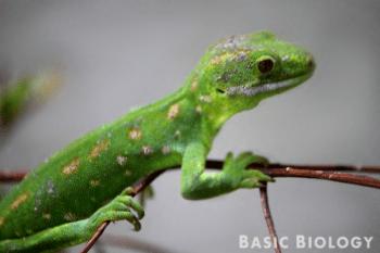 Green tree gecko