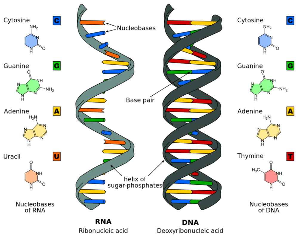 medium resolution of dna genes genetics