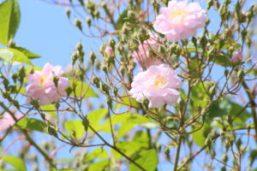 Giardino semplici Bagnacavallo Rose