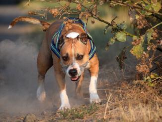 Pitbull aggredisce un cane e il suo padrone, accade a Bastia Umbra