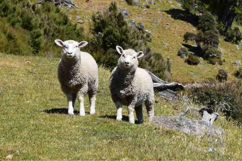 Sheep Twina