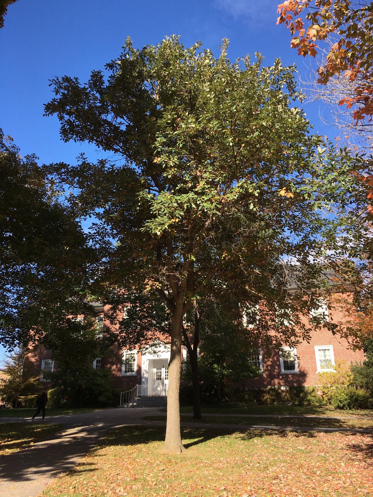 Swamp White Oak Bates Canopy Bates College