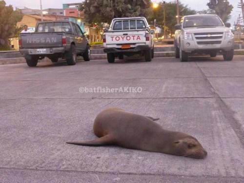 路上で眠るアシカ