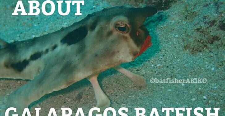 ABOUT GALAPAGOS BATFISH アイキャッチ