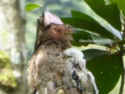 あくびをするオナガタチヨタカと、そのお腹に埋もれる幼鳥