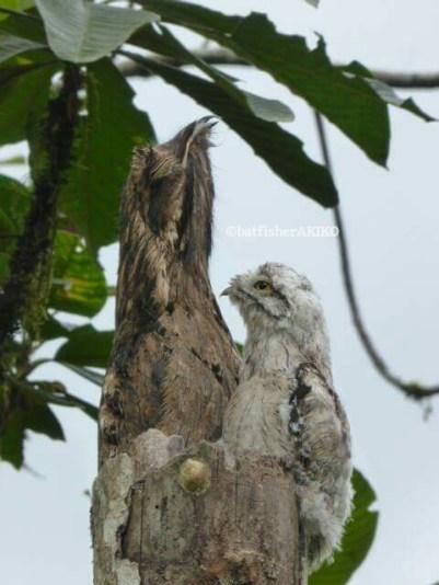 僕も伸びた方が良いのかな?と母鳥を見るオナガタチヨタカの幼鳥