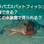 ガラパゴスバットフィッシュは飼育できる?どこの水族館で見られる? アイキャッチ