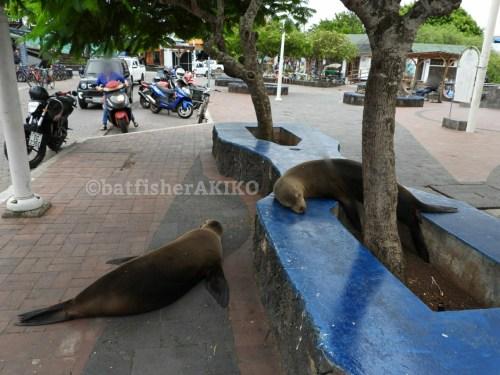 ガラパゴス諸島、サンタ・クルス島の路上で眠るアシカたち