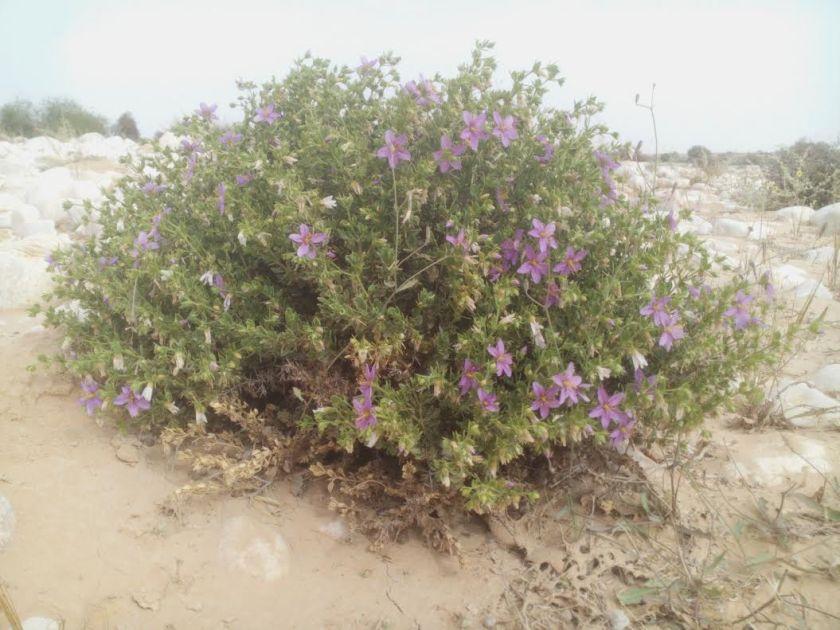 פגוניה רכה דווקא ממנה החמצתי לקחת זרעים. פורחת חודשים רבים בשנה.
