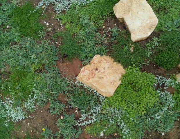 תחליף מדשאה טבעי - ניסוי בצמחים חדשים