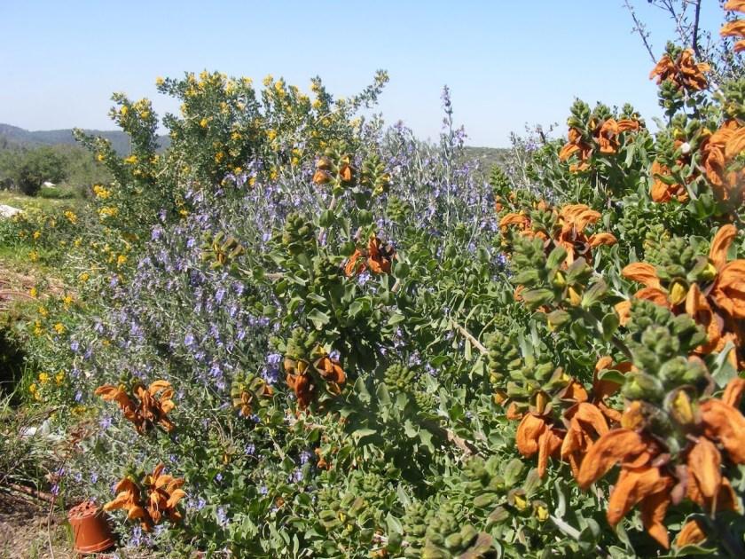 חזקה ופריחה מדהימה בסוף החורף - מרווה אפריקנית