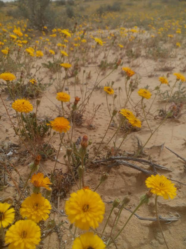 גם את המדבר צובעת - ניסנית דו קרנית