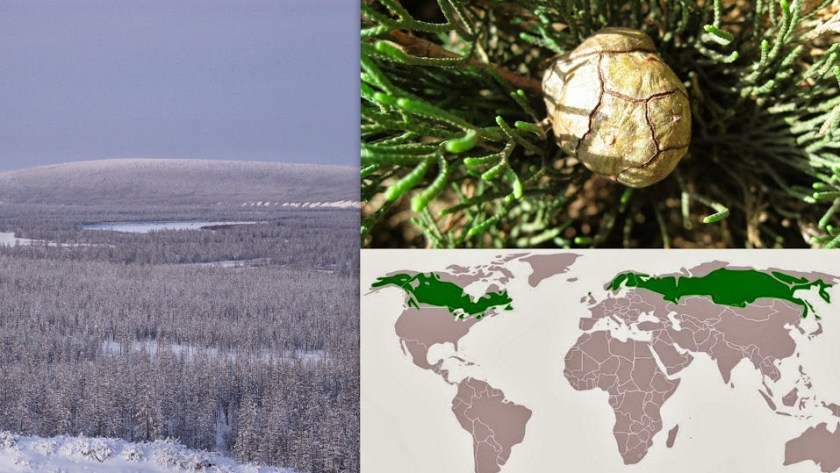 שפה שנטמעה בים תיכוני אך מקורה בקור הצפוני - מפת יערות הטייגה, משם מגיע רוב החמצן בעולם.  נצר שנטמע - ברוש מצוי