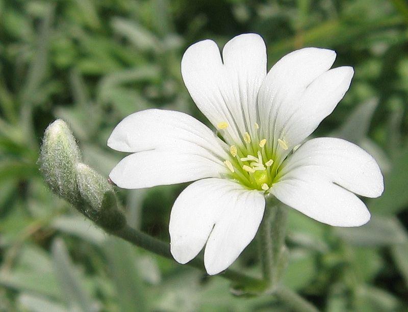 קרנונית לבידה (תמונה מויקיפדיה)