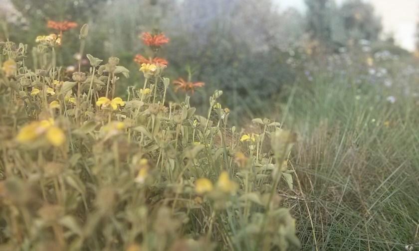 שלהבית מאפירה בסיום הפריחה, אוזן ארי, פרובסקיה והרבה מולהנברגיה קפילריס שמתאפקת עד לסיום הקיץ