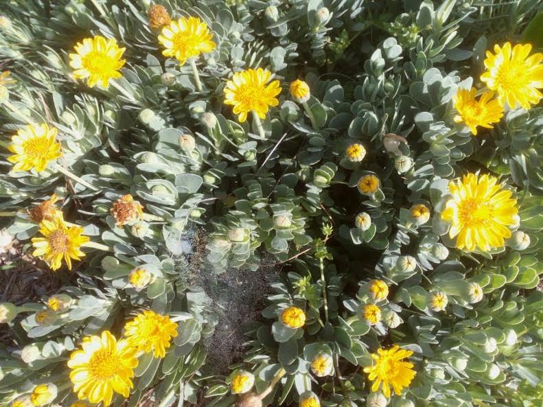 אותונית צהובה - שרדנית ופורחת אבל תראו את העלים