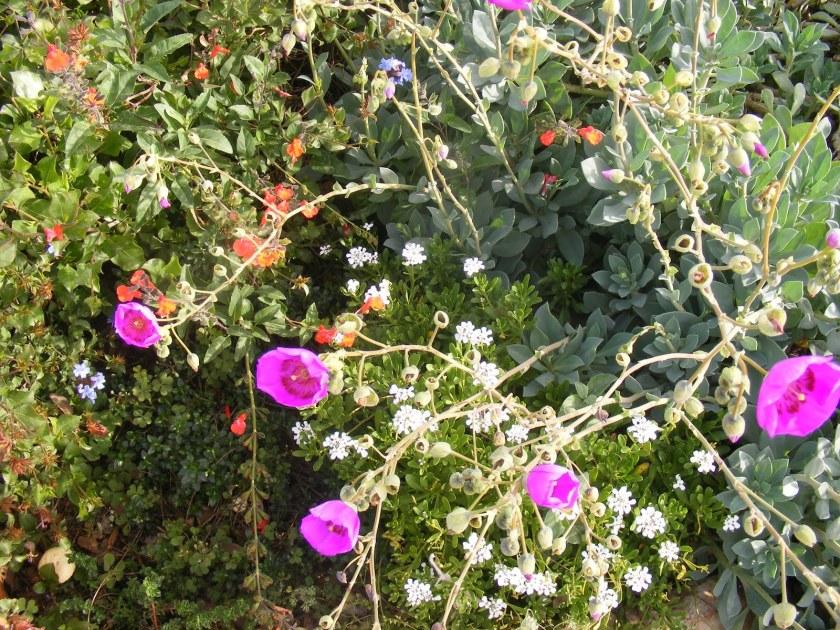 קלנדריניה גדולת פרחים - קצרת חיים? לא בהכרח, רגישה לחום או להשקיה דחופה?