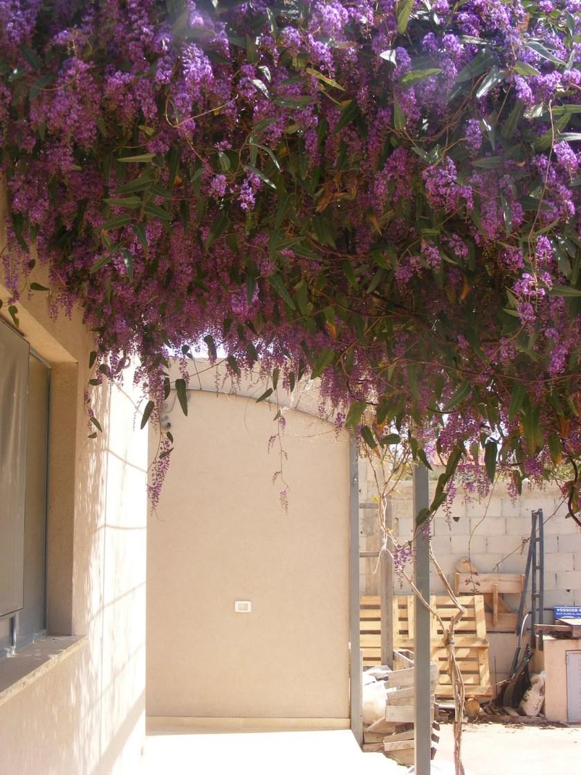 הרדנברגיה תלתנית על פרגולה דרומית, צמח מרוסן עם נטיה לצימוח עלי מובהק.