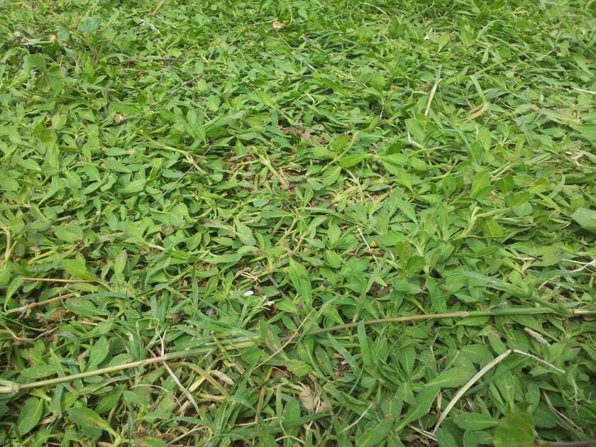 לערבוב כתחליף מדשאה - חזקה עד אגרסיבית ליפיה זוחלת